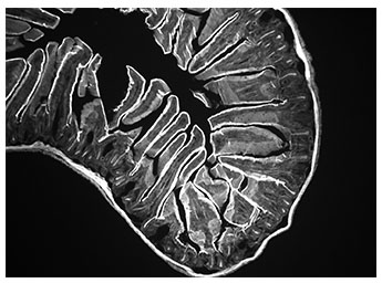 Mouse intestine image captured with monochrome microscopy camera.