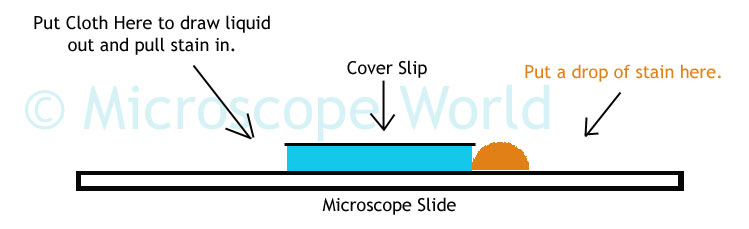 Microscope world blog science project microscope staining cells take a look at each slide under the microscope do you notice differences in the details you can view in the cheek cells try the same activity above ccuart