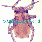 Aphid Microscope Image