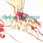 Fruit Fly Microscope Image